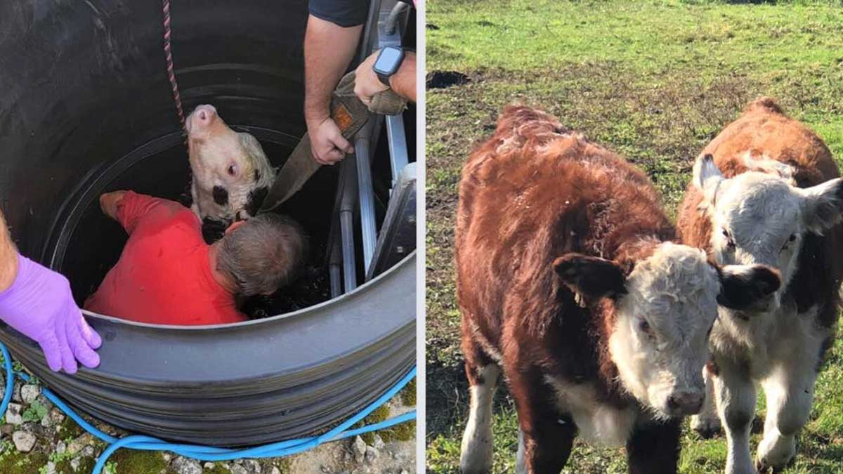A heroic act. An emotional story about firefighters who saved the calf facing a death experience