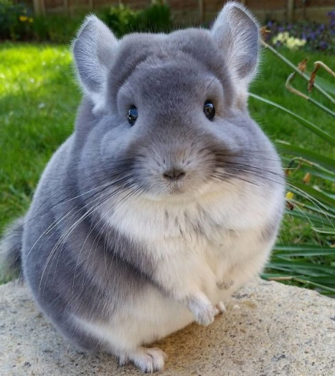 PHOTOS.The heart melting chinchillas are so sweet and fluffy